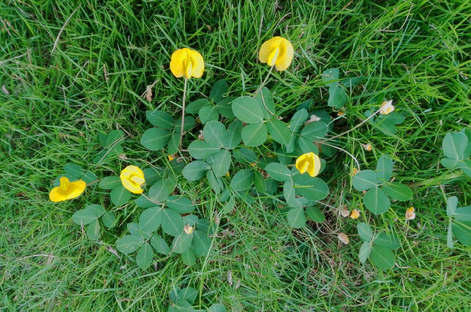 Perennial Peanut Ornamental Ground Cover Or Invasive Weed
